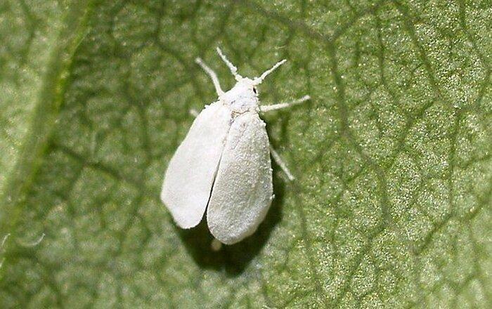 Белокрылка на рассаде как избавится быстро в домашних условиях
