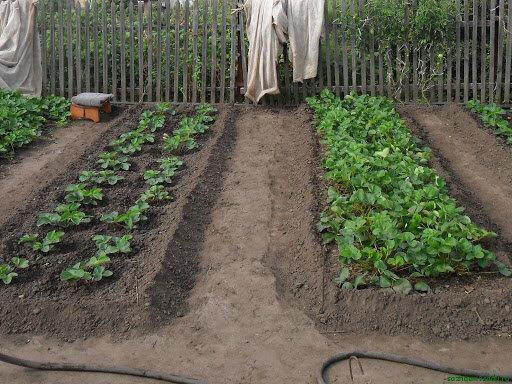 Как выращивать клубнику в открытом грунте