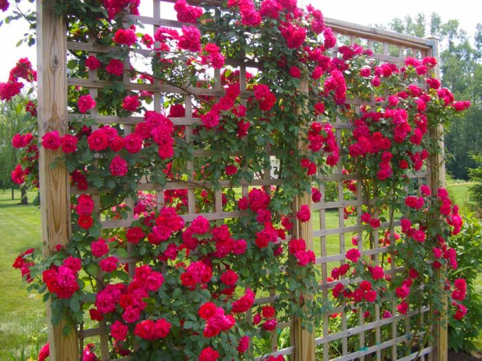 Плетущиеся розы цветущие все лето