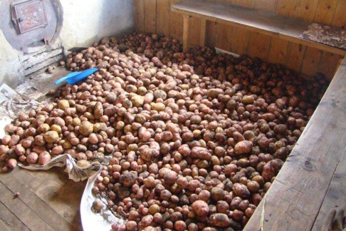 Когда копать картошку сроки и признаки зрелости картофеля